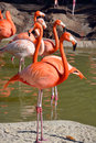 Flamingos or flamingoes are a type of wading bird in the genus phoenicopterus the only genus in the family phoenicopteridae Royalty Free Stock Images