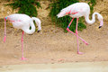 Flamingos or flamingoes are a type of wading bird in the genus phoenicopterus from greek φοινικόπτερος meaning purple Stock Photos