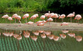 Flamingos Flamingos Reflections Royalty Free Stock Images