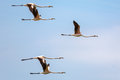 Flamingos in flight Royalty Free Stock Photo