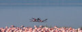 Flamingos in flight. Kenya. Africa. Nakuru National Park. Lake Bogoria National Reserve. Royalty Free Stock Photo
