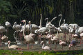 Flamingos flock of caribbean at waters edge Royalty Free Stock Images