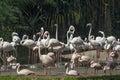 Flamingos flock of caribbean at waters edge Royalty Free Stock Photography