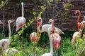 Flamingos flock colorful birds with long necks walk in safari park beautiful colored slender wildlife Stock Photo