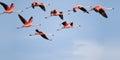 Flamingos flying. Royalty Free Stock Photo