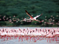 Flamingos flying on the lake bogoria Stock Photos
