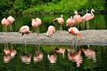 Flamingos group of colorful and exotic Royalty Free Stock Photo