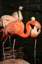 Flamingos group of in zoo Royalty Free Stock Photography