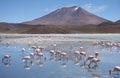 Flamingos in Laguna Hedionda, Bolivia, Atacama desert Royalty Free Stock Photo