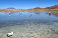 Flamingos on lake in Andes Stock Image