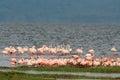 Flamingos on lake nakuru colorful in shallow water national park kenya Stock Photos