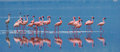 Flamingos On The Lake With Ref...