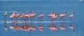 Flamingos on the lake with reflection. Kenya. Africa. Nakuru National Park. Lake Bogoria National Reserve. Royalty Free Stock Photo