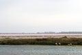 Flamingos near Le Grau-du-Roi, Camargue, France Royalty Free Stock Photo