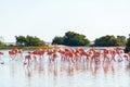 Flamingos Near Rio Lagartos, Mexico Royalty Free Stock Photo