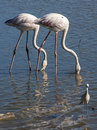 Flamingos a pair of looking for food in the pond Royalty Free Stock Photos
