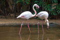 Flamingos pair of at parque das aves brazil Stock Photo