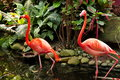 Flamingos a pair of wade thru the water searching for food or showing off their beauty Royalty Free Stock Photos