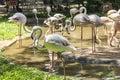Flamingos, Parque das Aves, Foz do Iguacu, Brazil. Royalty Free Stock Photo