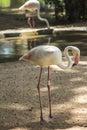 Flamingos parque das aves foz do iguacu brazil at Royalty Free Stock Images