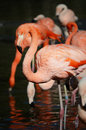 Flamingos pink flamingo in the water Royalty Free Stock Image