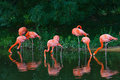 Flamingos pink zoo birds wild life Royalty Free Stock Photo