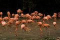 Flamingos, Singapore Stock Photography