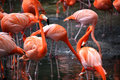 Flamingos type wading bird genus phoenicopterus genus family phoenicopteridae there four flamingo species americas two species old Royalty Free Stock Images