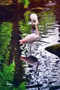 Flamingos in the water Royalty Free Stock Photography