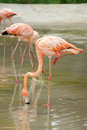 Flamingos in the water are searching feed Royalty Free Stock Photos