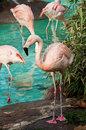 Flamingos in the zoo of barcelona Stock Image