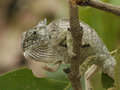 Flap necked chameleon chamaeleo dilepis in zambia Royalty Free Stock Images