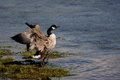 Flapping canada goose branta canadensis on yellowstone river in yellowstone national park Royalty Free Stock Photo
