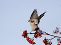 A flapping waxwing happy on branches with red fruits Royalty Free Stock Image