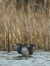 Flapping wood duck drake stretching his wings on a wetland Royalty Free Stock Images