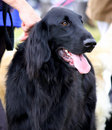 Flat Coated Retriever Stock Photography