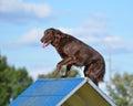 Flat-Coated Retriever At Dog A...