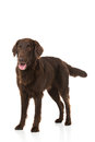 Flat Coated Retriever Royalty Free Stock Photo