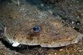 Flat fish Indonesia Sulawesi Stock Photography
