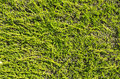 Flat hedge background green juniper texture Royalty Free Stock Photography