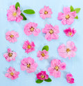 Flat lay composition with pink flowers dog-rose Royalty Free Stock Photo