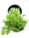 Flat leaf parsley Stock Image