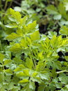 Flat parsley Royalty Free Stock Images