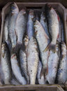 Flathead mullet fish in the market for sell Royalty Free Stock Photo