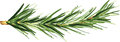 Flavored plant green branch of an aromatic rosemary Royalty Free Stock Photo