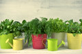 Flavoring greens in buckets bunches of lettuce and spinach colorful metallic with watering cans on rustic wooden background toned Stock Photo
