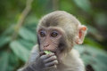 Flavouring a rhesus macaque eating a piece of food Stock Image