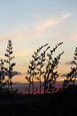 Flax bush silhouette behind NZ sunset