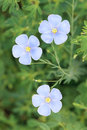 Flax flower Royalty Free Stock Photo
