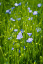Flax flowers in the field. Royalty Free Stock Images